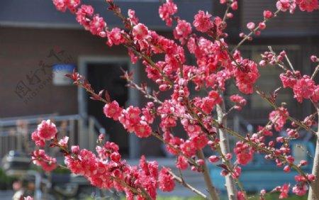 园林花灌木红花碧桃图片