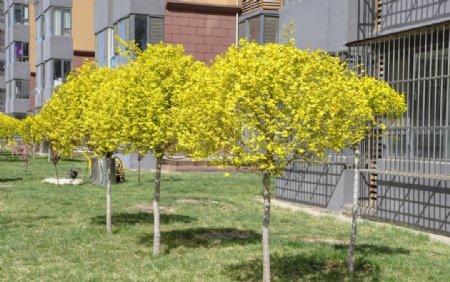园林植物金叶榆球图片