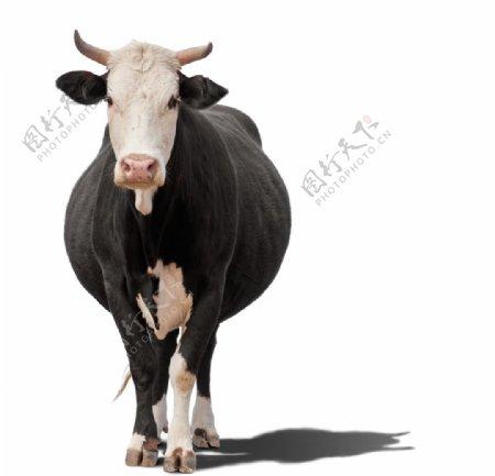 站立中的纯种奶牛图片