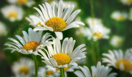 小雏菊花卉图片