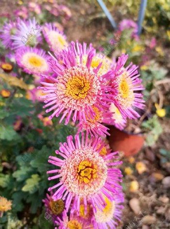 红色菊花花朵手机摄影图片